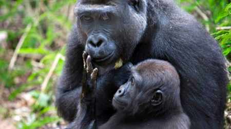 Mother and child Gorillas.