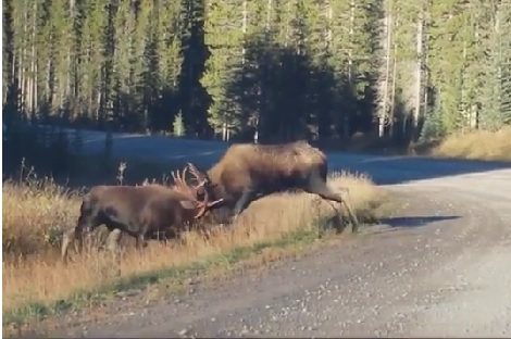 Moose Fight.