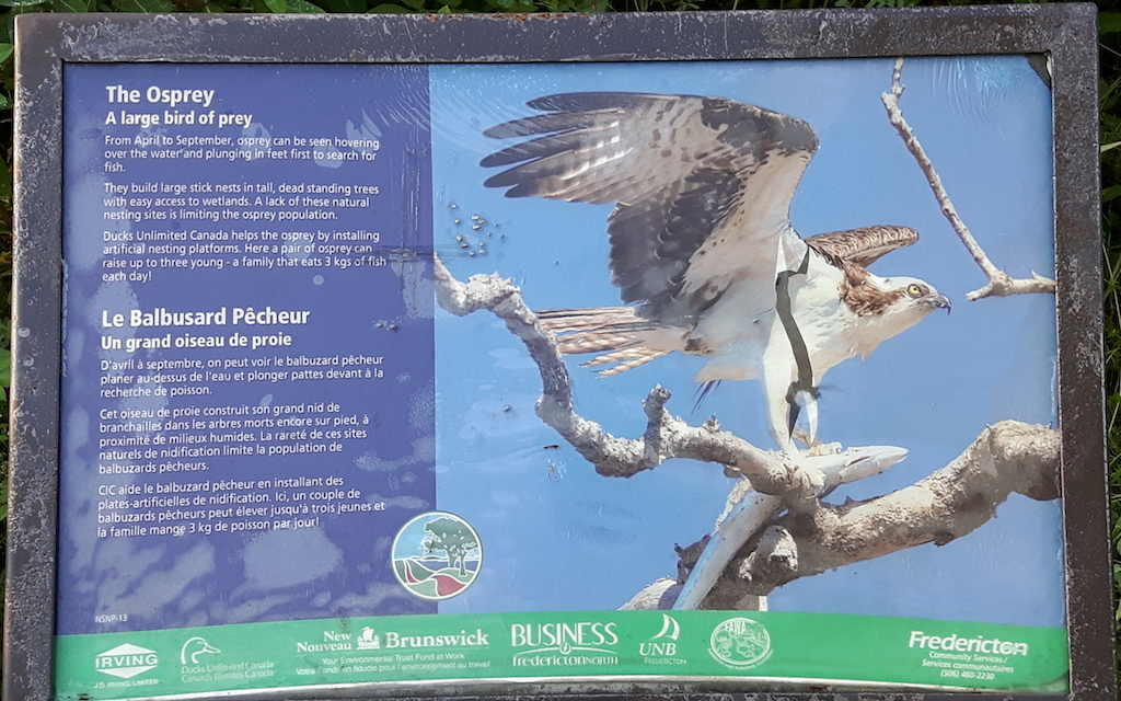 Plaque describing Osprey in English and French beiside the walking trail on the North Side of Fredericton.