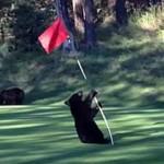 Bear cub playing a flag pole on a golf green.