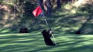 Bear cub playing a flag pole on a golf green.